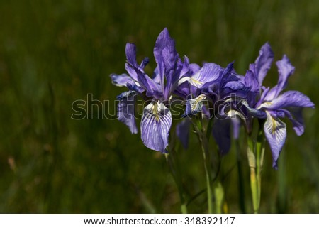 Wild iris blossom along Peak to Peak Highway.  Scenic Byway is in Colorado.  Flower's nicknames include Rocky Mountain Iris and Western Blue Flag.   - stock photo