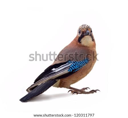 wild jay bird on a white background close up - stock photo
