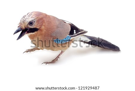 wild jay on a white background close up - stock photo