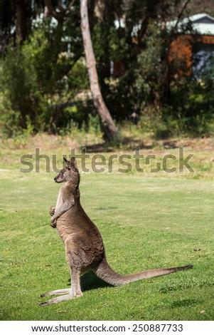Wild kangaroos in Australia. - stock photo