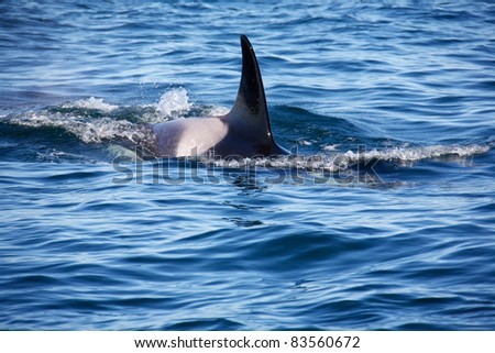 Wild killer whales breaching in the ocean outside of Vancouver Island British Columbia Canada - stock photo