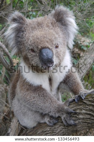 wild Koala sitting on a tree at Cape Bridgewater in Victoria, Australia - stock photo
