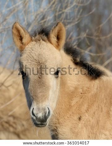 Wild Konik horse foal portrait looking up - stock photo