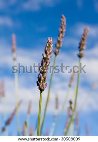 Wild lavendar flower in natural surroundings against blue sky - stock photo