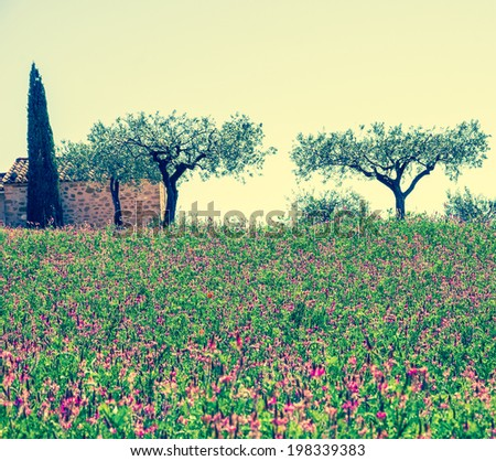 Wild lavender field and old farmhouse, two olive trees and cypress at backgrounds in Provence (France). Aged photo.  - stock photo