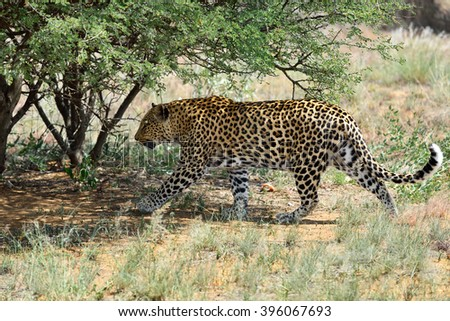 Wild leopard In the African Savannah, Namibia - stock photo
