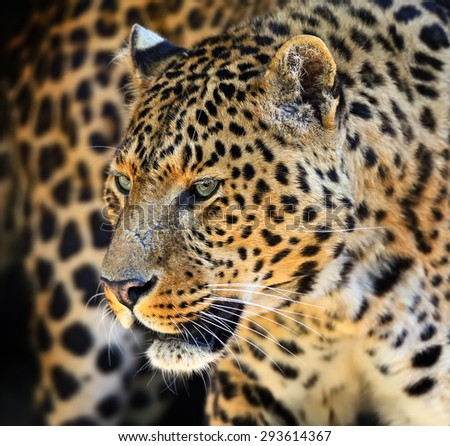 Wild Leopard in the tropical African savanna - stock photo