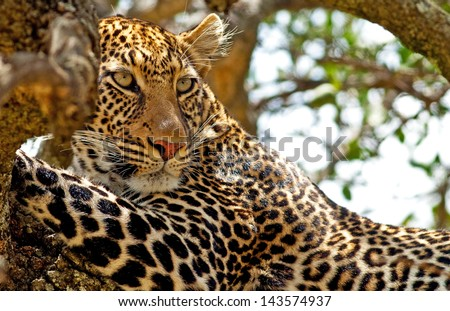 Wild leopard lying in wait atop a tree in Masai Mara, Kenya, Africa - stock photo
