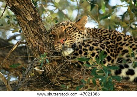 Wild leopard sleeping on top of a tree - stock photo