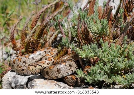 Wild leopard snake (Zamenis situla) in its natural habitat in Apulia, Italy - stock photo