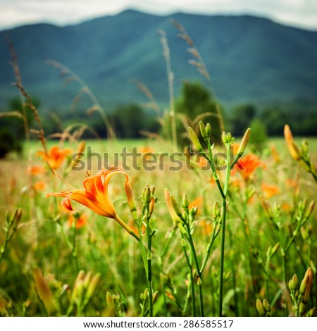 Wild lilies at Cades Cove Great Smoky Mountains National Park  - stock photo