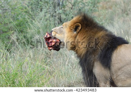 Wild Lion male carries a piece of meat in his mouth in grass, Namibia, Africa - stock photo