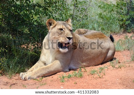 Wild Lioness resting under bush in the African savanna, Namibia. - stock photo