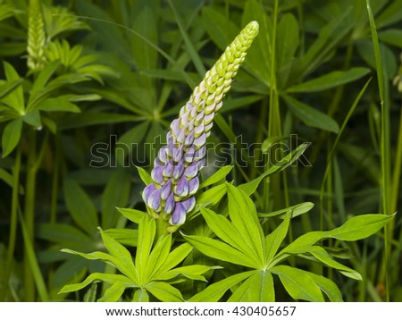 Wild Lupin flowers and buds on stem just before full blossom, close-up, selective focus, shallow DOF - stock photo