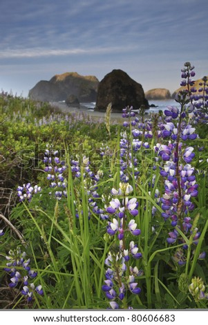 Wild lupine along the Oregon coast at Pistol River State Park - stock photo