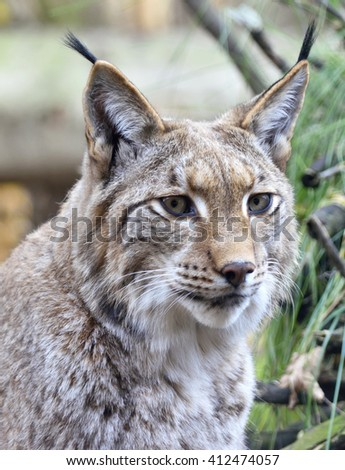 Wild lynx in a forest with view to the camera. - stock photo