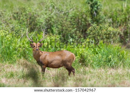 Wild male hog deer in the forest of Phukheo,Chaiyaphoom Thailand - stock photo