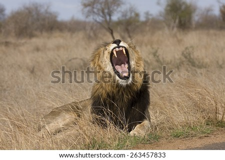 wild male lion yawning in the bush, at Kruger national park South Africa - stock photo