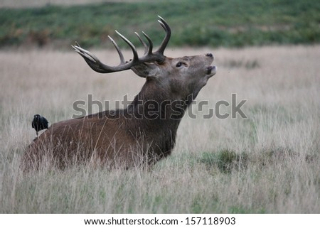 wild Male red deer buck calling to females in field during mating season - stock photo