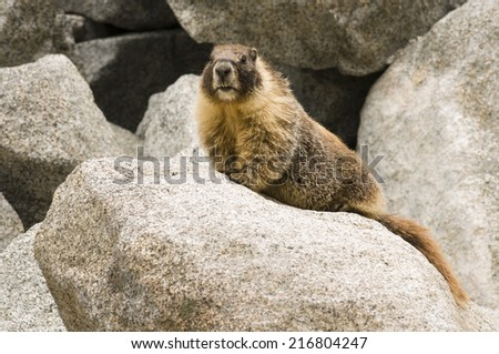 Wild Marmot (Marmota) near Tokopah falls located in the Lodgeple campground in the Sequoia National Park, CA. Native to mountainous regions of Europe, United States, and Canada. - stock photo