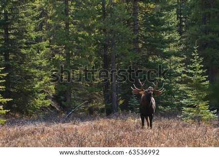 Wild Moose in the Canadian Rocky Mountains Kananaskis Country Alberta Canada - stock photo