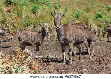 Wild mountain goats in North Kerala, India. - stock photo