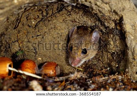 wild mouse apodemus flavicollis regional park frignano Modena Emilia Romagna - stock photo