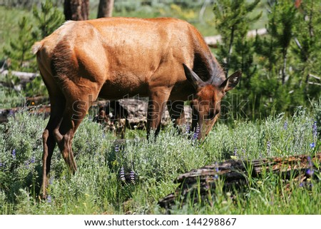 Wild mule Deer eating grass at Rocky mountain national park, Colorado - stock photo