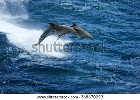 Wild nature background - two jumping dolphins in stormy sea - stock photo