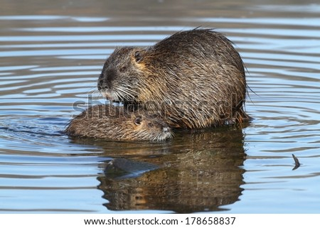 Wild nutria with the young. End of winter. - stock photo