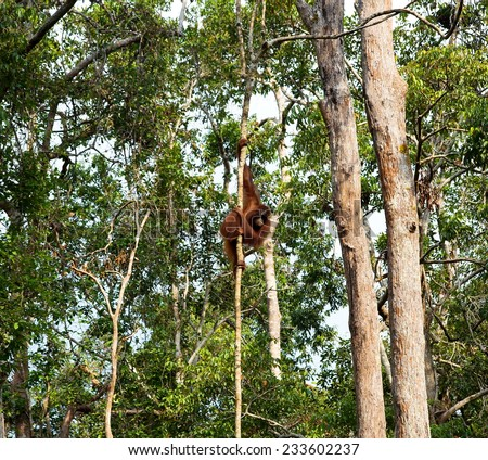 Wild Orangutan hanging on the tree in the forest of Borneo Indonesia. - stock photo
