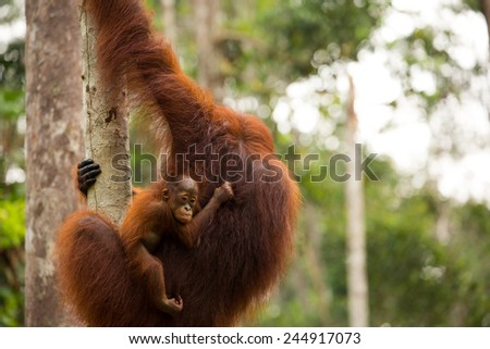 Wild orangutan in Borneo forest Indonesia. - stock photo