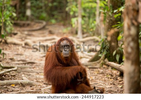 Wild orangutan in the forest of Borneo. - stock photo