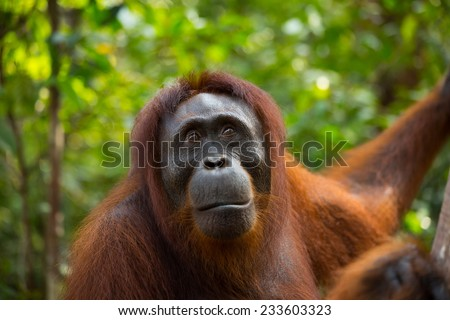 Wild Orangutan in the jungle of Borneo Indonesia. - stock photo
