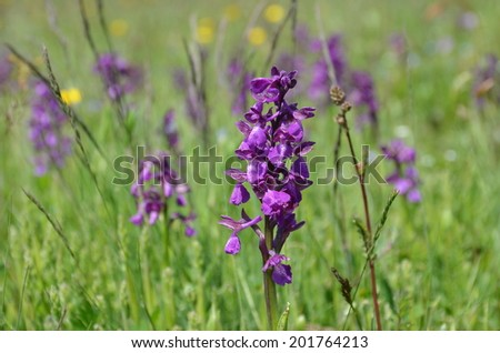 Wild orchids in the meadow  - stock photo
