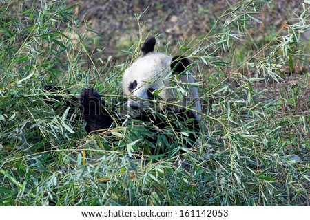 Wild panda bear in Qinling mountains, China - Pandas live mainly in bamboo forests high in the mountains of western China - stock photo