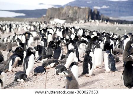 Wild penguin in antarctica - stock photo