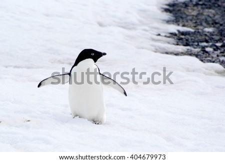 wild penguin on snow - stock photo