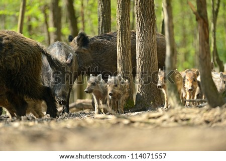 Wild pig in a natural habitat - stock photo