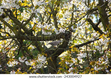 Wild Pigeon on bloomming apple tree with flowers - stock photo