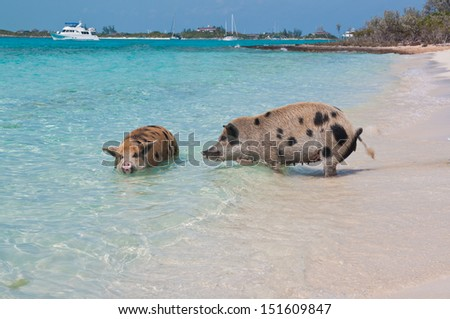 Wild pigs on Big Majors Island in The Bahamas, lounging and walking around in the sand and ocean, swimming in the clear blue water.  copy space available - stock photo