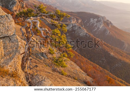 Wild pine in the high mountains of the Crimea. - stock photo