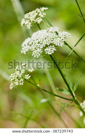 Wild plant used in traditional medicine to treat wounds, gastritis, blood pressure...  - stock photo
