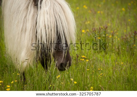 Wild ponies grazing at Grayson Highland State Park in Virginia. It is a great place to hike in Virginia along the Appalachian Trail. - stock photo