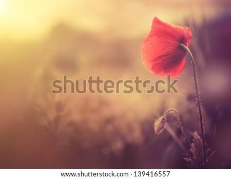 wild poppy flower - stock photo