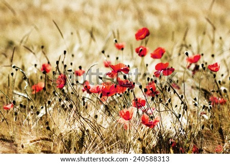 wild poppy flowers - stock photo