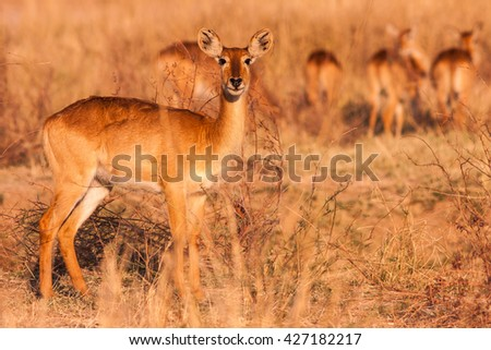 Wild Puku Antelope in the African Savannah - stock photo