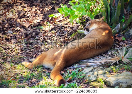 Wild Puma cat cleaning fur after dinner - stock photo