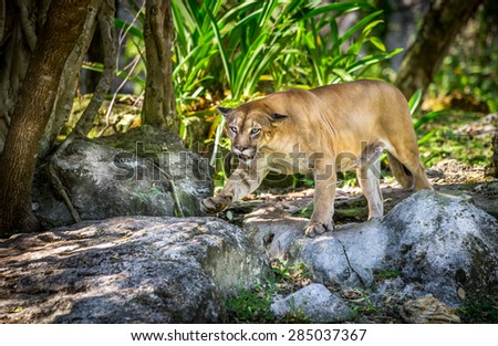 Wild Puma cat searching for a prey - stock photo