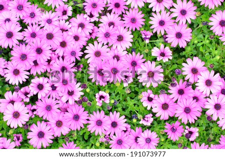 Wild Purple Color Chrysanthemum in Full Bloom (Pink Color Mums) - stock photo